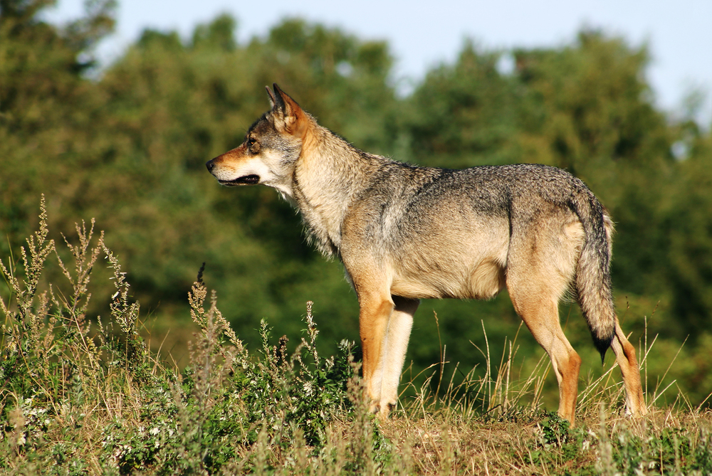 How much are unique apex predators, such as the grey wolf ( Canis lupus),  worth to ecosystems?  Photo:  Malene Thyssen  ( Wikimedia Commons )