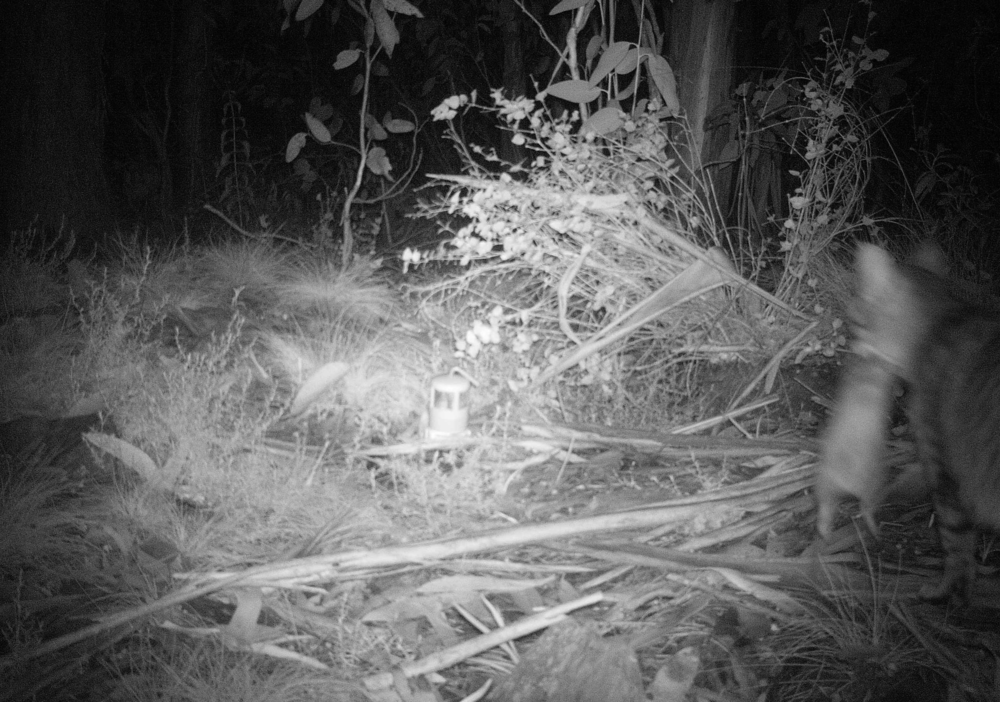 The impacts of feral cats on our native animals will be a significant focus of both the Summit and the Strategy. Here, a feral cat carries off its dinner for the night, a bandicoot. Photo: Billy Geary