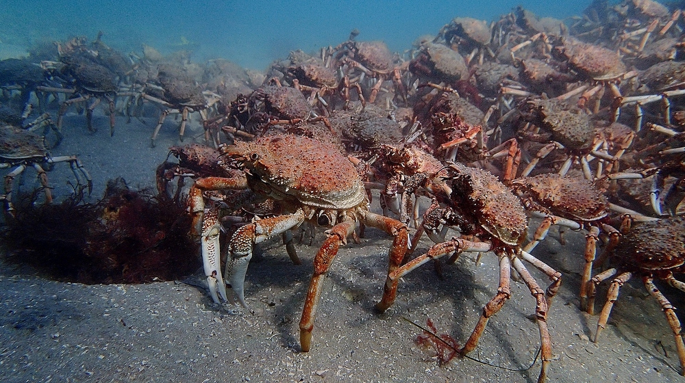Spider crabs forming aggregations. Photo: Elodie Camprasse