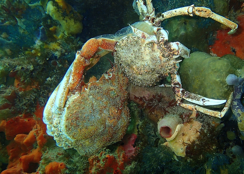 Spider crab removing itself from its old shell. Photo: Elodie Camprasse