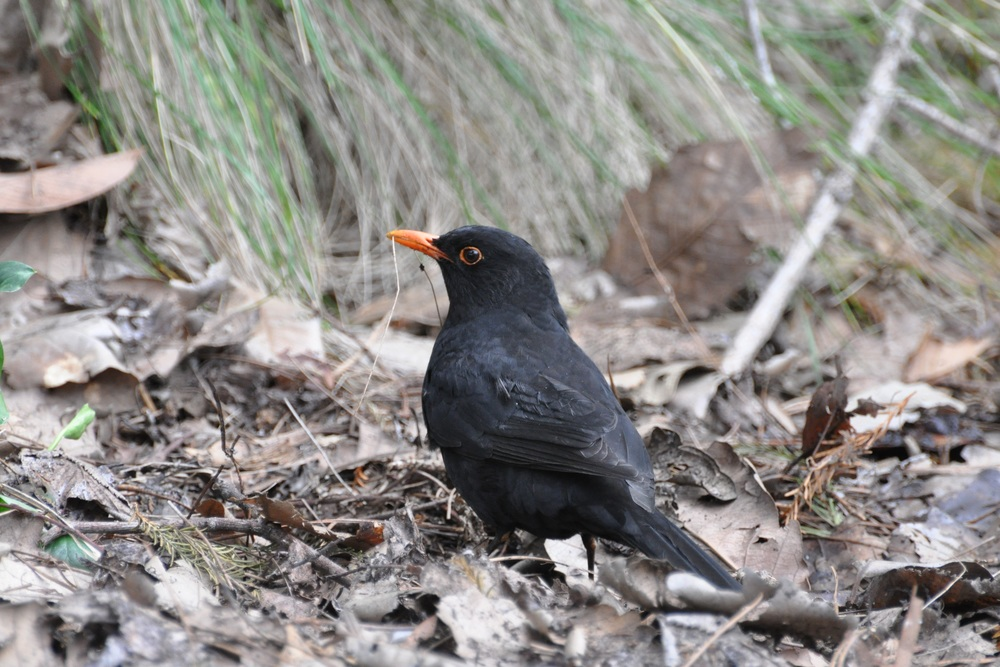 Blackbirds begin their seasonal reproductive development almost a month earlier, when exposed to light at night. Photo: Tom Aulsebrook.