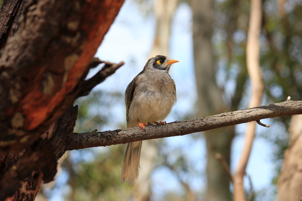 The noisy miner is one of many bird species flourishing in urban environments.  Photo: Emma Walsh