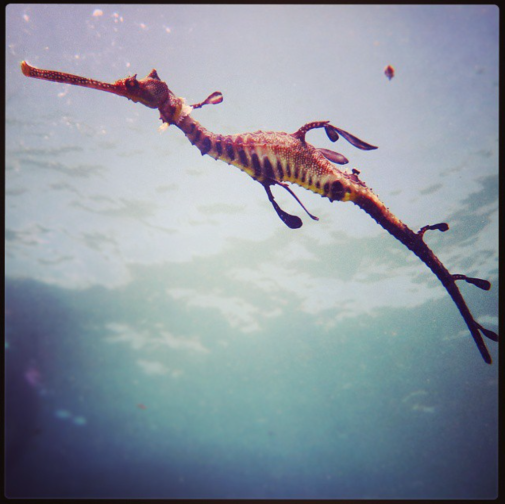 Weedy sea dragons are commonly found in seagrass meadows in Port Phillip Bay.  Image: Cathy Cavallo