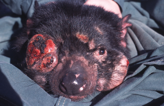 The devastating facial tumour disease. Photo source: Menna Jones / Wikimedia Commons