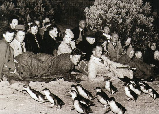 The 1920s saw the first crowds of tourists viewing the penguin parade by torchlight.    Image:   http://www.penguins.org.au