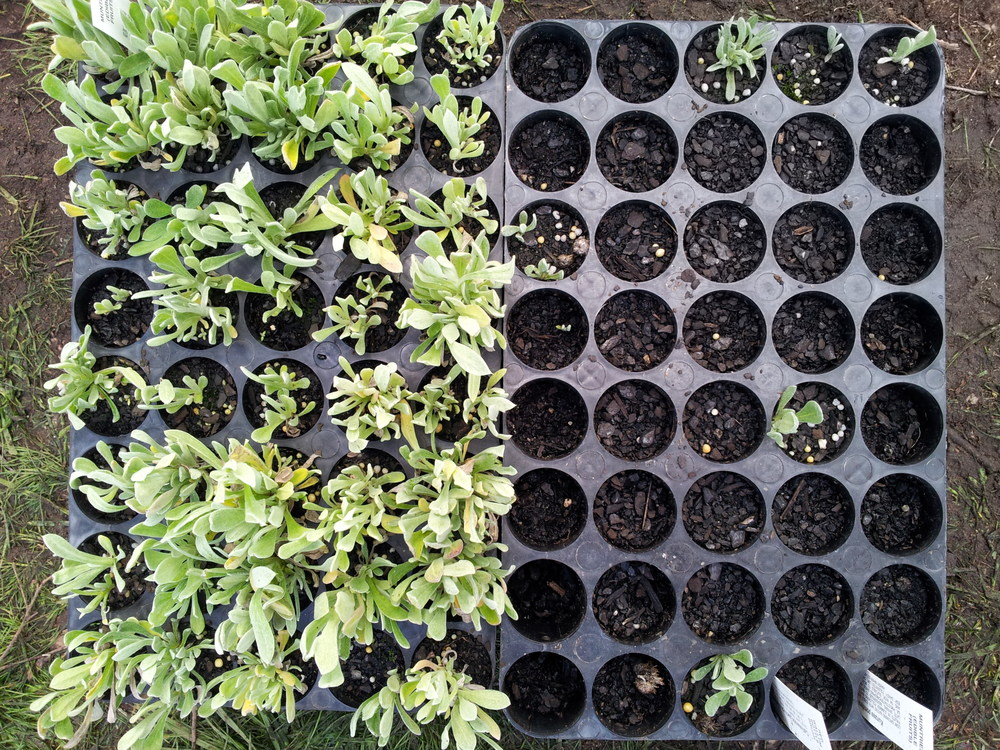 On the left were seeds collected from a parent group of 50 plants. On the right, from a parent group of 10. They were planted at the same time. Photo: Paul Jones