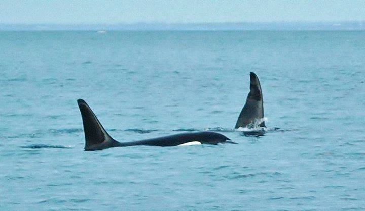 Killer whales frolicking in Port Phillip Bay off Sorrento Pier on Friday 4th December (Photo: Karl Bromelow)