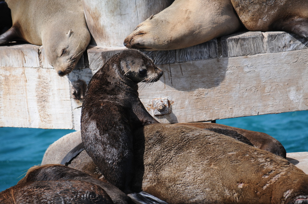 Fur seals like these ones are prime prey items for killer whales (Photo: Chris McCormack)