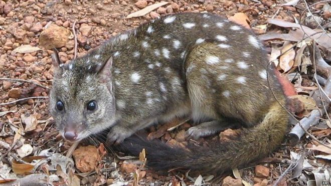 The western quoll returned to its former home in the Flinders Ranges recently. Photo: Australian Wildlife Conservancy