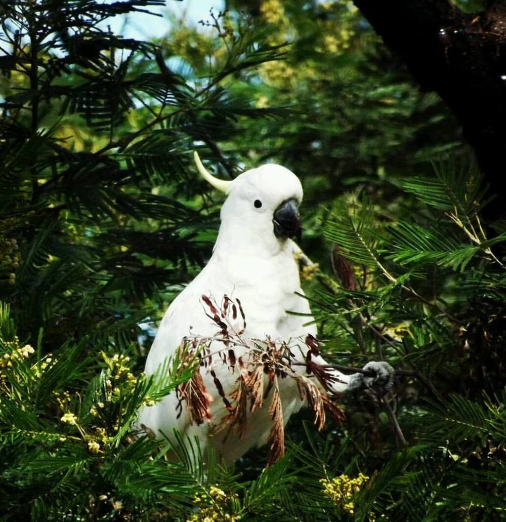 One of Australia's most iconic bird species: the sulphur-crested cockatoo.  Image: Tanya Rajapakse