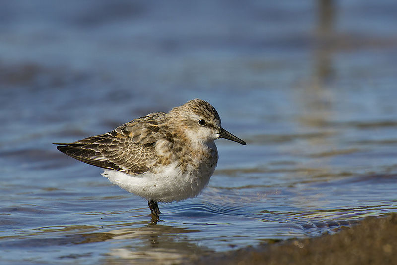 The red-necked stint is a   small migratory bird that nests in the Siberian tundra before traveling thousands of kilometres to reach Australian shores. After a six month break, it then makes the return journey back to Siberia to breed.   Image: Wikimedia Commons