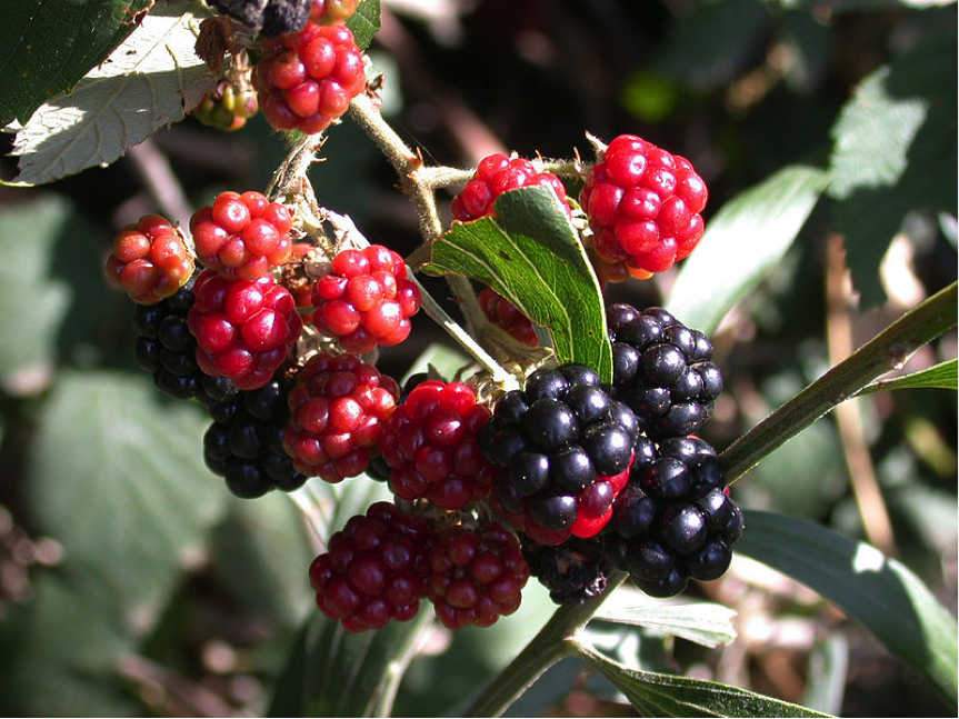 When ripe, European blackberry fruit is dark purple, or even black in colour. Image: Wikimedia Commons
