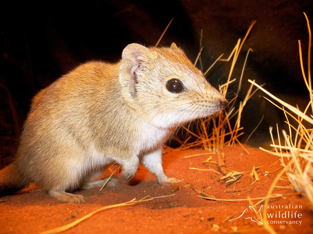 A mulgara (Photo by J. Schofield, used with permission from Australian Wildlife Conservancy)