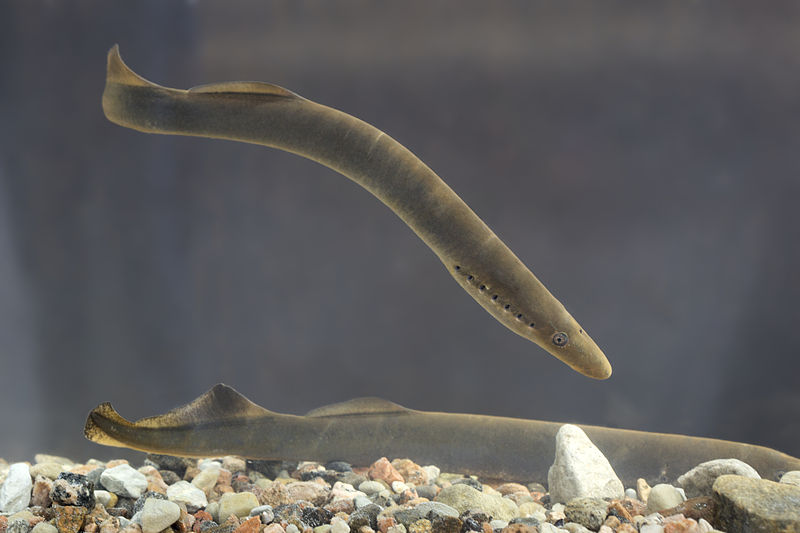 Lampreys are perhaps one of Melbourne's more alien-like parasites.