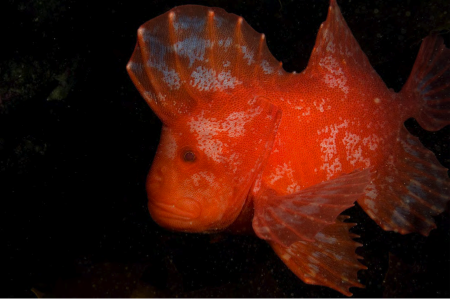 Red velvetfish in Wilsons Promontory Marine Park. Image: Mark Norman, Museum Victoria