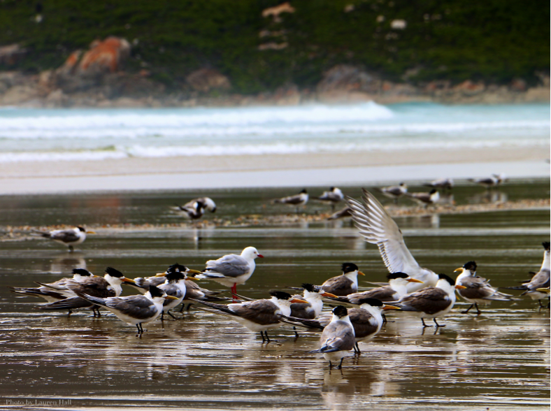 A flock of crested terns on the beach at Oberon Bay. Image: Lauren Hall