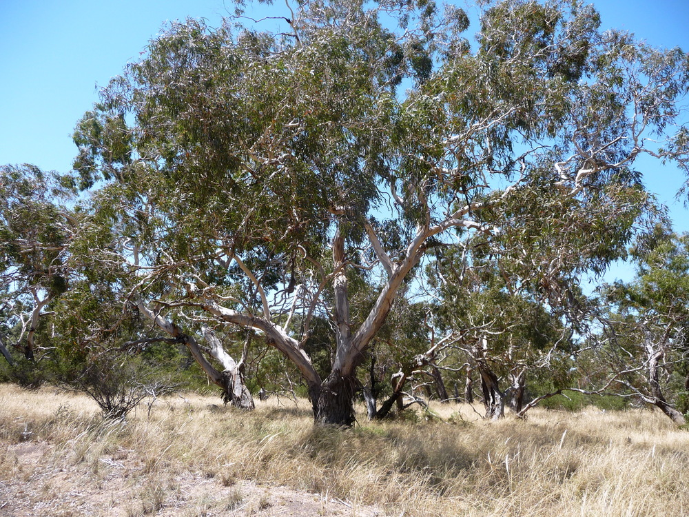 The Port Melbourne landscape would once have featured the beautiful rough-barked manna gum.   Image: http://ianluntecology.com/
