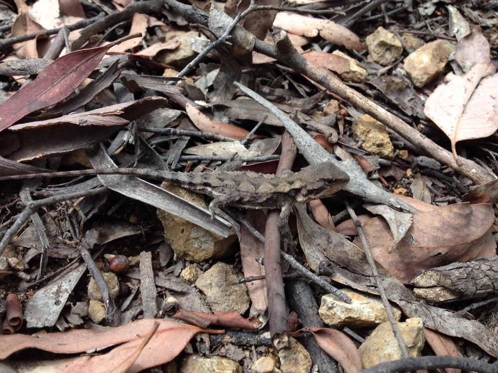 A camouflaged mountain dragon. Image: Fam Charko