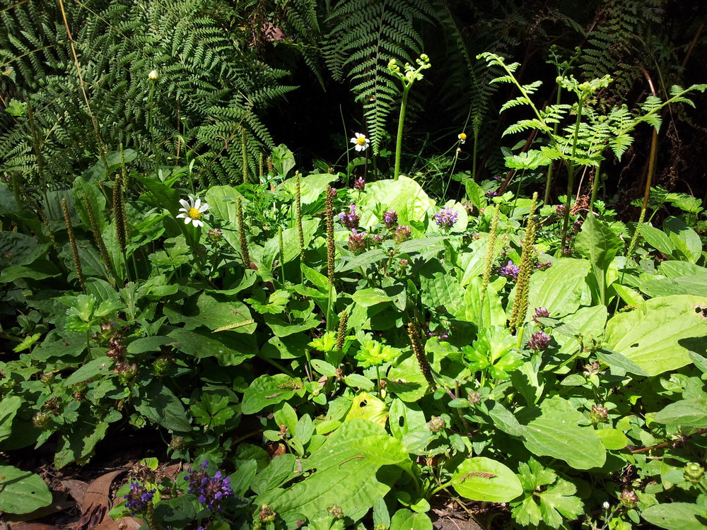Groundcover of daisies, Plantago, P. vulgaris and bracken. Photo: Paul Jones