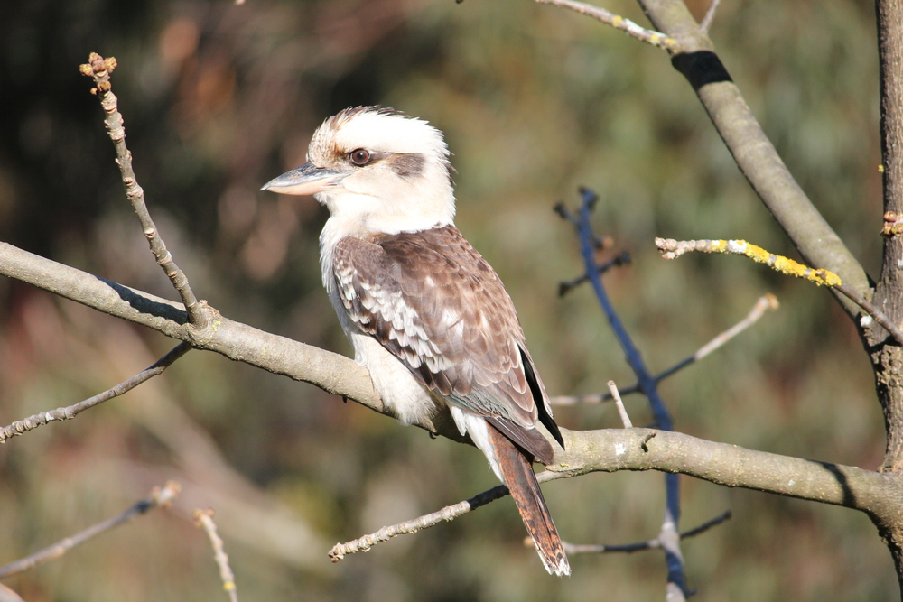 Kookaburras can still be found right across Melbourne.  Photo: Chris McCormack
