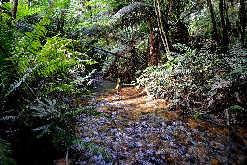Toolangi State Forest - a living example of Miocene rainforest. Image courtesy of Peter Campbell [CC BY-SA 3.0], via Wikimedia Commons.