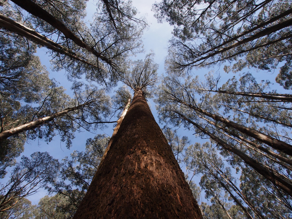 Mountain ash is the tallest flowering plant in the world. Image: https://adayintheleaf.com