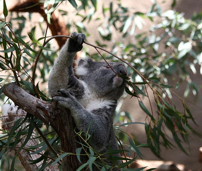 Despite popular opinion, eucalyptus leaves do not make koalas 'drunk'. Image: Rennett Stowe via Wikimedia Commons
