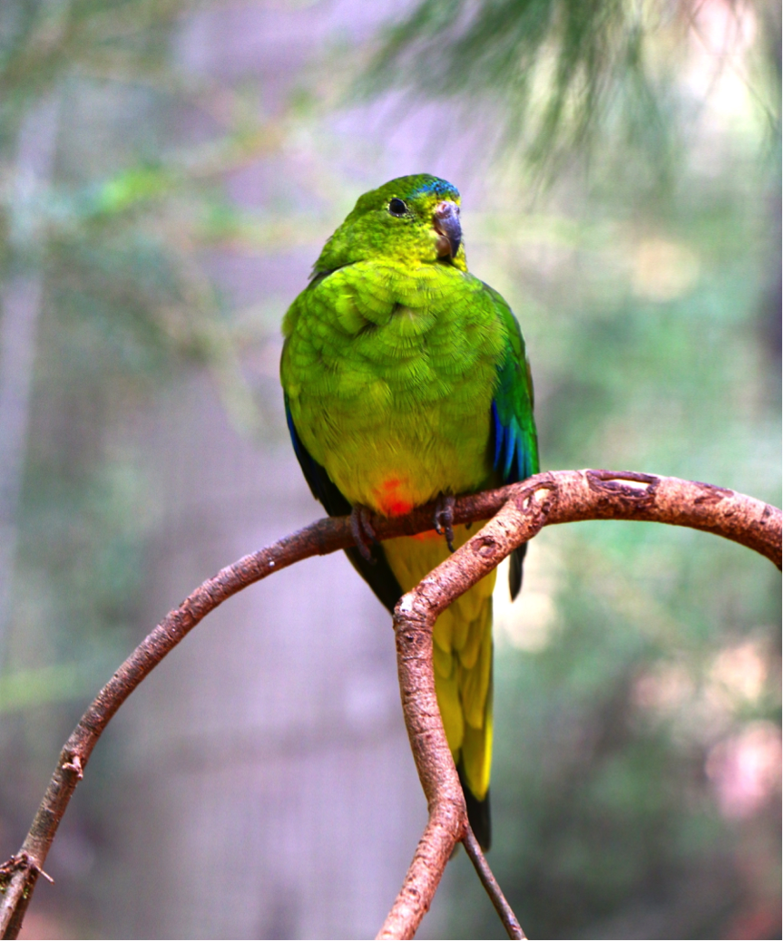 A captive orange-bellied parrot from Healesville Sanctuary. Photo: Lauren Hall