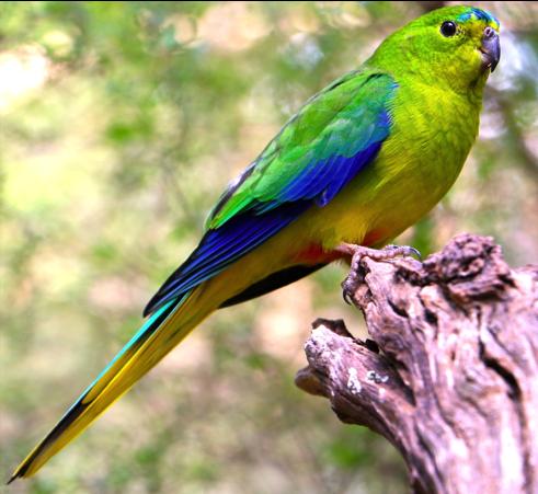 The orange-bellied parrot.Photo: Lauren Hall.