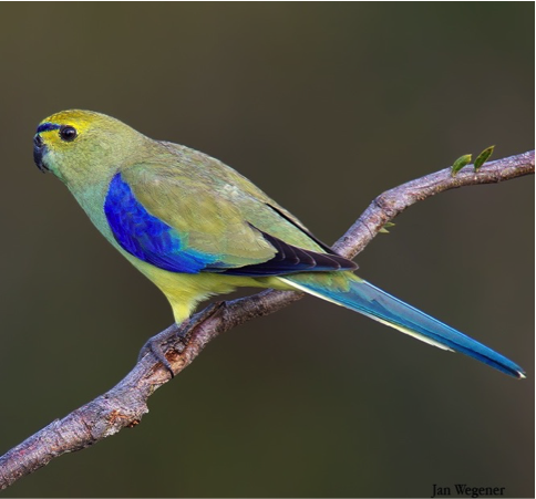 The blue-winged parrot. Photo: Jan Wegener