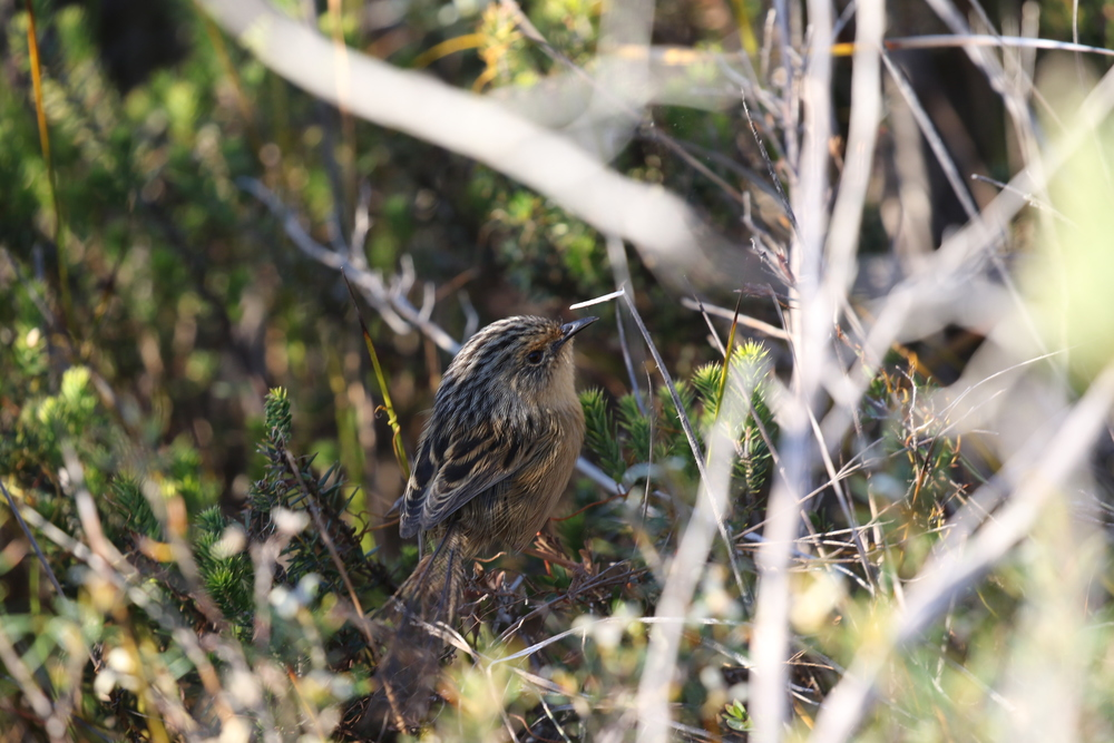 If there aren't many seabirds around, Anglesea also offers the chance of seeing southern emu-wrens and other heathland gems, just metres from prime seabird-viewing spots. Image: Rowan Mott