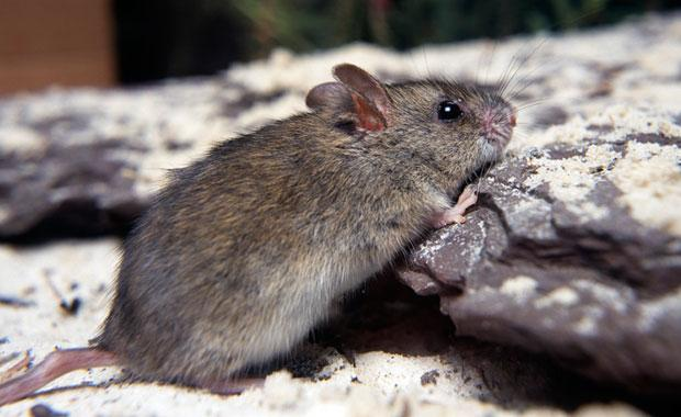 The New Holland mouse.  Image: Zoos Victoria