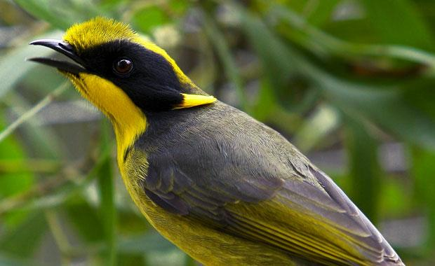 The helmeted honeyeater. Image: Trent Browning / Zoos Victoria