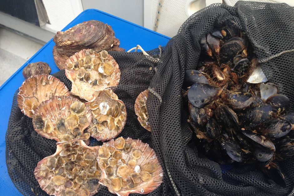 Baby oysters attached to scallops and mussels for deployment. Image: ABC / Cameron Best