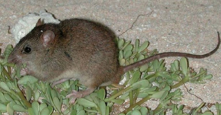 There have been no sightings of the Bramble Cay melomys since 2009.