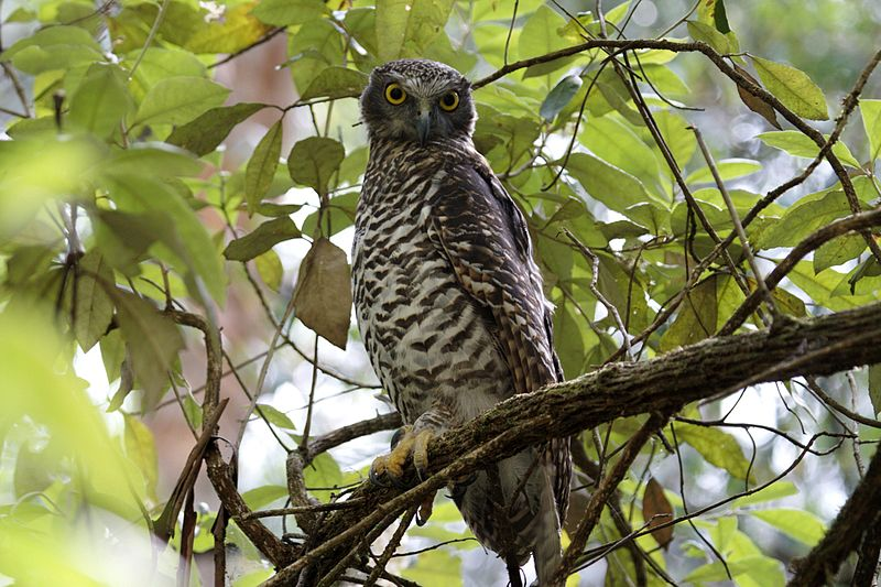 Urban trees provide habitat for apex predators like the powerful owl. Image: CSIRO