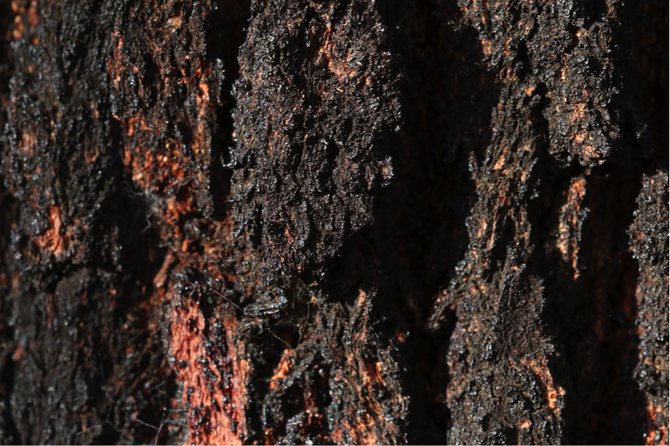 The dark bark of an ironbark provides year-round contrast against the grey-green foliage but, on cold winter mornings, this colouration creates an even more evocative sight when frost and fog provide additional contrast. Image: