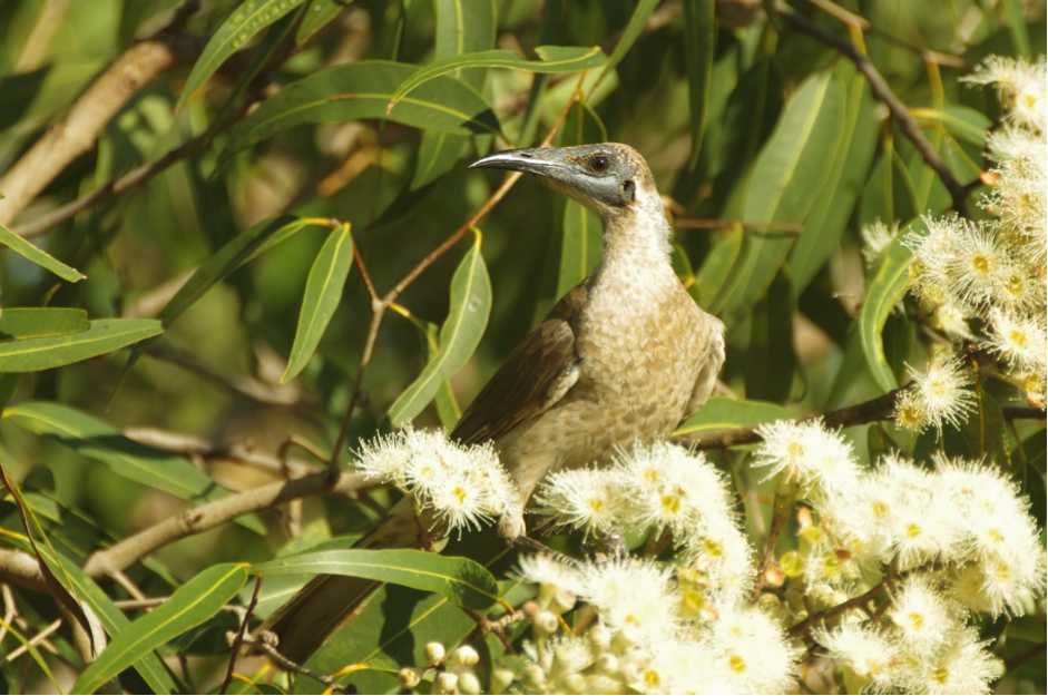 The little friarbird has, despite its name, quite a large body size for a honeyeater and it uses this to its advantage when defending nectar-laden flowers from competitors. Image: