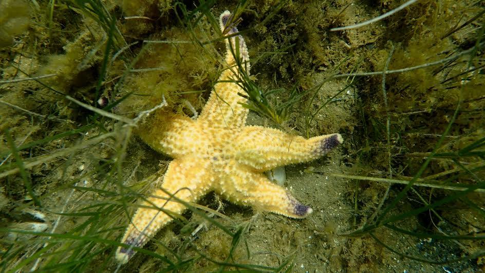 The Northern Pacific seastar. Photo: Evatt Chirgwin.
