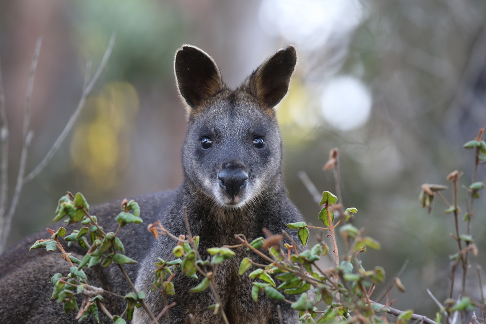 Many species, such as this swamp wallaby, live in the ground layer. Despite the tangled nature of the understory vegetation, the animals that inhabit this layer have little trouble moving through it. Photo: Rowan Mott.