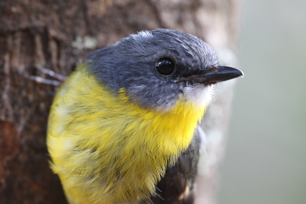 The eastern yellow robin is a denizen of the lower stratum where it can be found clinging to a vertical trunk, or perched on an exposed branch, waiting to spot an invertebrate among the leaf litter. Photo: Rowan Mott.