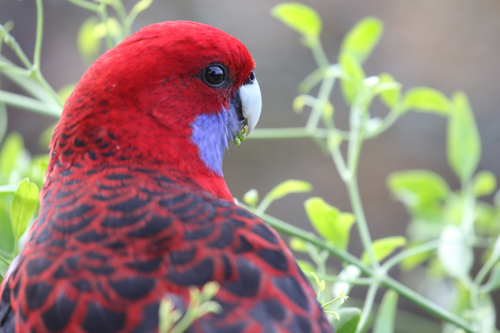Except for locations where people feed crimson rosellas, this species is usually found in the canopy where they feed on eucalypt seeds and a range of other foods. Photo: Rowan Mott.