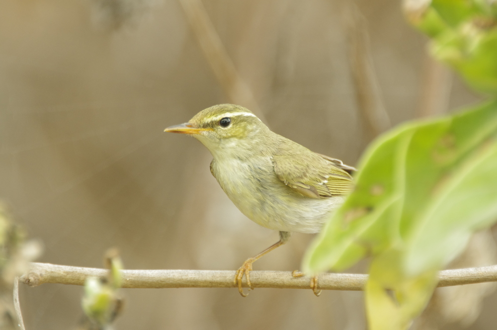 The rarities are sometimes adorned in mute tones of greys and browns, but chasing rarities, such as this Phylloscopus warbler, always gets you out to interesting places even if you don't see the bird. Photo: Rowan Mott