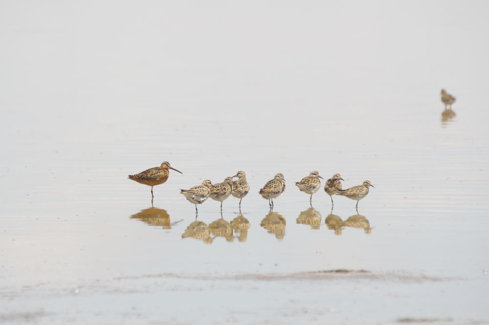 The bigger bird on the left was the most exciting 'mega' to show up in Victoria in a while. It is a Long-billed Dowitcher - a species that had never been seen in Australia prior to this one being found at Lake Tutchewop near Swan Hill. Photo: Rowan Mott