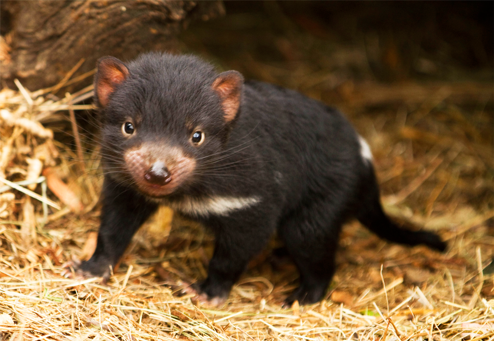 The Tasmanian devil.