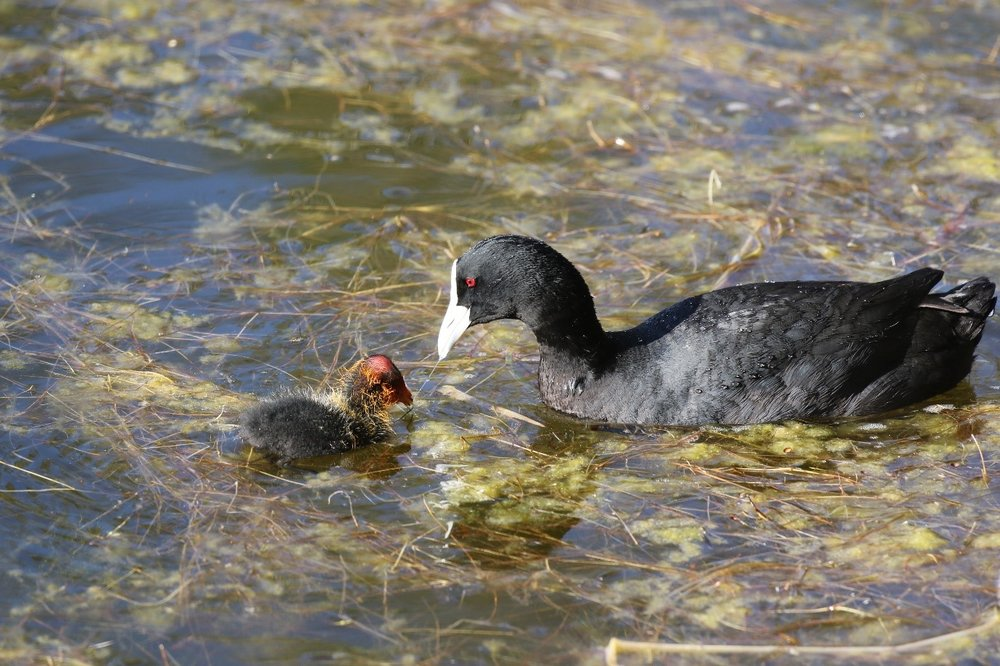 Eurasian coots breed at Newport Lakes Park and the tiny young can be seen following their parents around while waiting for morsels of food to be fed to them. Image: Rowan Mott.