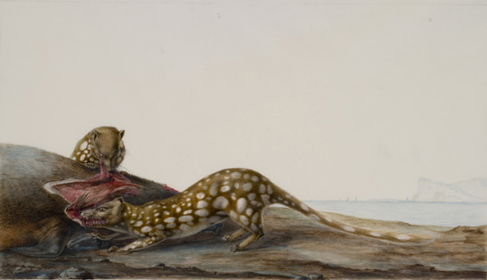 Two spotted-tailed quolls ( Dasyurus maculatus ) feeding on a seal carcass, King Island, Tasmania - Charles-Alexandre Lesueur.  Image:    Tasmanian Museum & Art Gallery