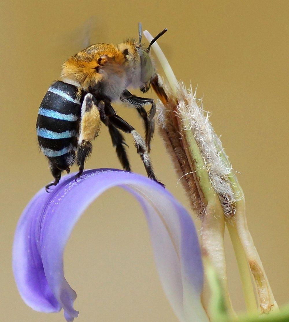 The alluring blue-banded bee ( Amegilla cingulata ).