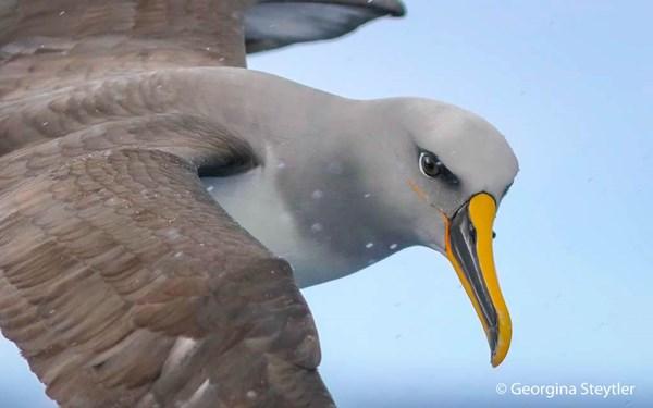 Buller's Albatross, Thalassarche bulleri. Image: Georgina Steytler