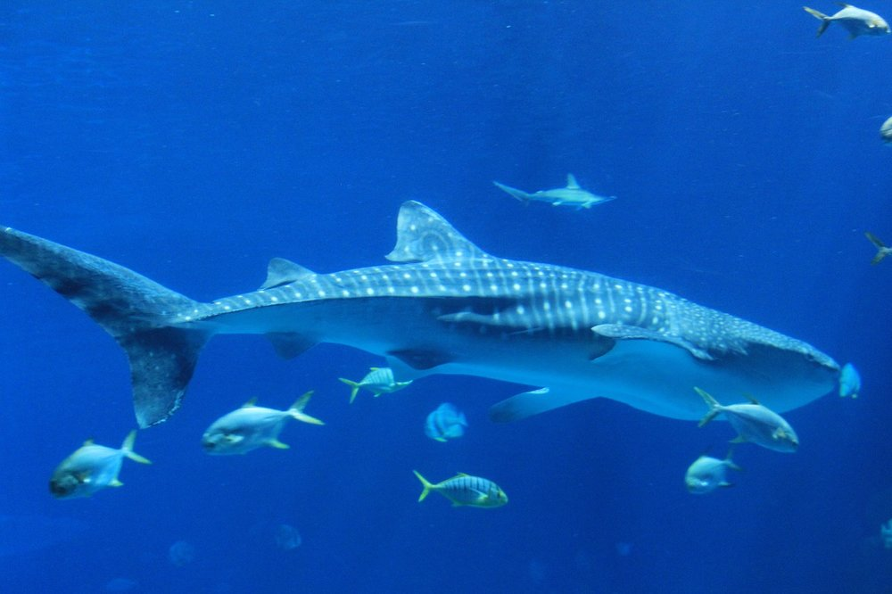 The gentle giant that is the whale shark can be spotted off Ningaloo Coast in WA.